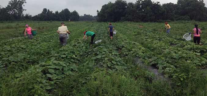 Gleaning with Farmers Against Hunger